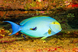 Yellowfin surgeonfish (Acanthurus xanthopterus) female at a cleaning station with endemic Hawaiian cleaner wrasse (Labroides phthirophagus) Hawaii.  -  David Fleetham