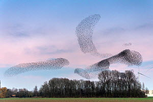Common starling (Sturnus vulgaris) murmuration, flocks gathering above trees before landing at winter roost. The Netherlands. February 2020.  -  David Pattyn