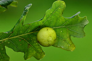 Cherry gall of the gall wasp (Cynips quercusfolii) on the underside of Pedunculate oak leaf (Quercus robur) Dorset, UK September.  -  Colin Varndell