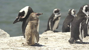 Small group of African penguin (Spheniscus demersus) resting and preening, Betty's Bay nature reserve, South Africa, December.  -  Fred Olivier
