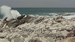 African penguin (Spheniscus demersus) colony gathered together as large waves crash behind them, Betty's Bay nature reserve, South Africa, December.  -  Fred Olivier