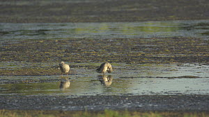 Two Cape teal (Anas capensis) preening, Kleinmond Nature reserve, South Africa, December.  -  Fred Olivier