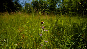 Camera moving around a Bee orchid (Ophrys apifera) on a nature reserve, Gloucestershire, United Kingdom, June.  -  Neil Aldridge