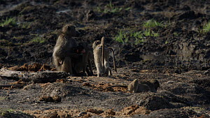 Troop of Chacma baboons (Papio ursinus) sitting together, a few get spooked and scatter, Mapungubwe National Park, Limpopo Province, South Africa, July.  -  Neil Aldridge