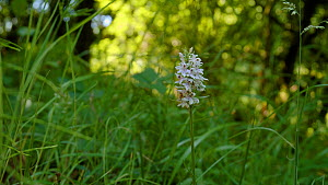 Camera moving around a Common spotted orchid (Dactylorhiza fuchsii) in woodland, North Somerset, United Kingdom, June.  -  Neil Aldridge