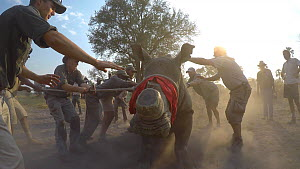 White rhinoceros (Ceratotherium simum) is guided by a team of vets and conservation staff from a transport crate while blindfolded and tranquilised, as part of an operation to translocate rhinos from...  -  Neil Aldridge