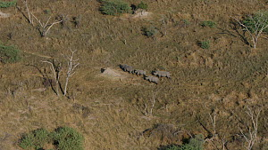 Aerial view of four white rhinoceros (Ceratotherium simum) on open plains in, Okavango Delta, Botswana following extensive operations to translocate rhinos from South Africa to rebuild Botswana's lost...  -  Neil Aldridge
