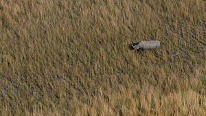 Aerial view of a White rhinoceros (Ceratotherium simum) running on open plains, Okavango Delta, Botswana following extensive operations to translocate rhinos from South Africa to rebuild Botswana's lo...  -  Neil Aldridge