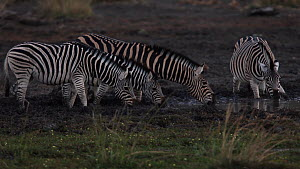 Small group of Plains zebra (Equus quagga) drinking at a waterhole, one stops to check for predators before another zebra walks away, Mapungubwe National Park, South Africa, July.  -  Neil Aldridge