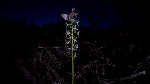A moth visiting a Lesser butterfly orchid (Platanthera bifolia) at night before flying away, Devon, United Kingdom.  -  Neil Aldridge