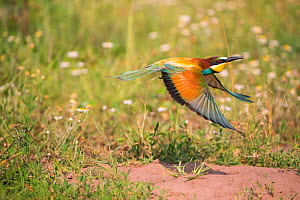 Bee-eater (Merops apiaster),flying near nest -on flat ground, rather than in sand bank, Hungary  -  Hermann Brehm