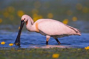 Spoonbill ( Platalea leucorodia) wading, with yellow Water-lily flowers, Hungary  -  Hermann Brehm