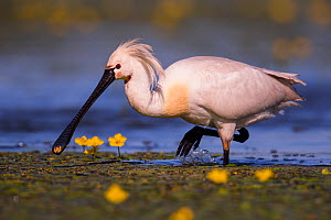 Spoonbill ( Platalea leucorodia) wading with yellow Water-lily flowers, Hungary  -  Hermann Brehm