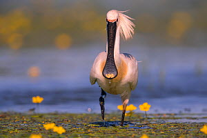 Spoonbill ( Platalea leucorodia), with yellow flowers of Fringed Water-lily, Hungary  -  Hermann Brehm