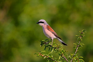 Red-backed shrike (Lanius collurio), male, Germany  -  Hermann Brehm