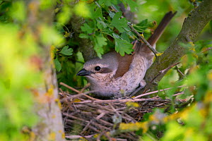 Red-backed shrike (Lanius collurio), female, on nest, Germany  -  Hermann Brehm
