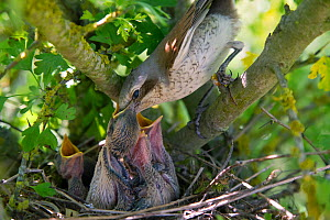 Red-backed shrike (Lanius collurio), female feeding the chicks with part of a mouse, Germany  -  Hermann Brehm
