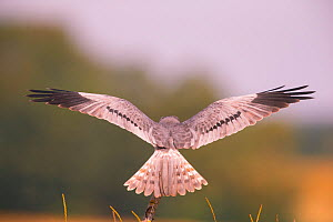 Montagu's Harrier (Circus pygargus) male in flight, rear view, Bavaria, Germany  -  Hermann Brehm