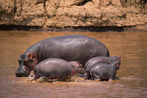 Hippopotamus (Hippopotamus amphibius) with three young animals, in water, Masai Mara, kenya  -  Hermann Brehm