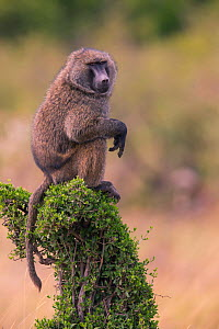 Baboon (Papio cynocephalus), sentry looking out, Masai Mara, Kenya  -  Hermann Brehm