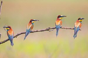 Four Bee-eaters (Merops apiaster) perched on branch, each with insect prey in beak, Hungary  -  Hermann Brehm