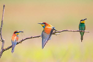 Three Bee-eaters (Merops apiaster) perched, two with insect prey, Hungary  -  Hermann Brehm