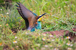 Bee-eater (Merops apiaster), nesting on flat ground, rather than in sand bank, Hungary  -  Hermann Brehm