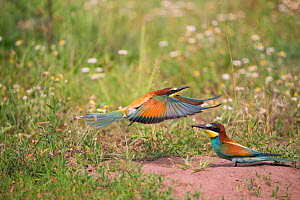 Bee-eater (Merops apiaster) pair, near nest on flat ground, rather than on sandy banks, Hungary  -  Hermann Brehm