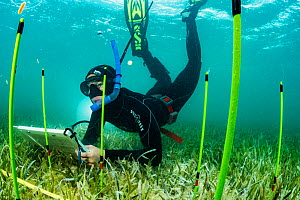 Marine biologist Olivia Rhoades carrying out research into the impact of predators and scavengers on seagrass beds. Bahamas. 2019.  -  Shane Gross