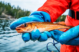 Atlantic cod (Gadus morhua) juvenile held by researcher from Department of Fisheries and Oceans Canada after implanting a radio tag to track fish's movements. Newfoundland, Canada. May 2019.  -  Shane Gross