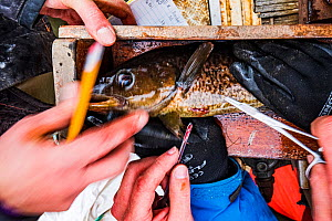 Researchers from Department of Fisheries and Oceans Canada stitching up Atlantic cod (Gadus morhua) juvenile after implanting a radio tag to track the fish's movements. Newfoundland, Canada. May 2...  -  Shane Gross