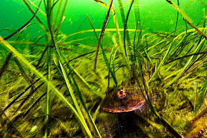 Shorthorn sculpin (Myoxocephalus scorpius) sheltering in seagrass bed. Terra Nova National Park, Newfoundland, Canada. May.  -  Shane Gross
