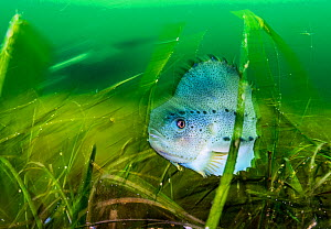 Lumpfish (Cyclopterus lumpus) sheltering in Eelgrass (Zostera marina) bed. Lumpfish are hunted for their roe to produce caviar and are considered threatened in Canada. Terra Nova National Park, Newfou...  -  Shane Gross