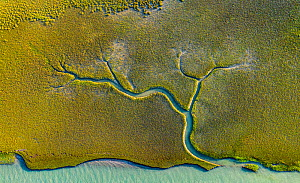 Aerial view of tidal channels in marshland, with tree like appearance. Mockhorn Island State Wildlife Management Area, Virginia, USA. May 2019.  -  Shane Gross