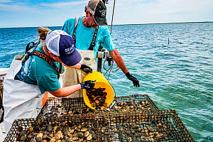 Researchers from the Virginia Institute of Marine Science pouring Scallops (Argopecten irradians) into cage. The Virginia scallop fishery collapsed in the 1930s as seagrass beds disappeared from the a...  -  Shane Gross