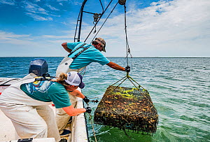 Researchers from the Virginia Institute of Marine Science lowering Scallop (Argopecten irradians) cage into sea. The Virginia scallop fishery collapsed in the 1930s as seagrass beds disappeared from t...  -  Shane Gross