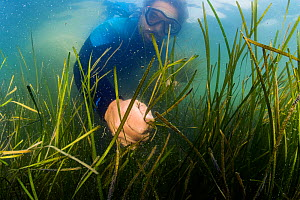 Scientist Bo Lusk collecting Eelgrass (Zostera marina) shoots with seeds. Part of the largest seagrass bed restoration project in the world led by Virginia Institute of Marine Science. Virginia, USA....  -  Shane Gross
