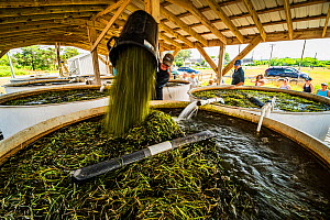 Researchers from The Nature Conservancy pouring Eelgrass (Zostera marina) into large tank where seeds will separate from leaves for later dispersal. Part of the largest seagrass bed restoration projec...  -  Shane Gross