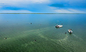 The Nature Conservancy volunteers collecting Eelgrass (Zostera marina) seeds, aerial view. Part of the largest seagrass bed restoration project, led by Virginia Institute of Marine Science. Virginia,...  -  Shane Gross