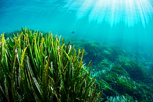 Neptune seagrass (Posidonia oceanica) bed, sun rays shining through water. A patch of seagrass bed in the Mediterranean sea is considered to be the oldest living organism on earth. Spain. June.  -  Shane Gross