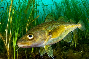 Atlantic cod (Gadus morhua) juvenile sheltering in Eelgrass (Zostera marina) bed. Once the most caught fish in the world, the cod fishery collapsed in 1992. Juveniles use seagrass beds as a nursery, t...  -  Shane Gross