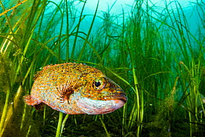 Cunner (Tautogolabrus adspersus) fish in Eelgrass (Zostera marina) bed. Newfoundland, Canada.  -  Shane Gross