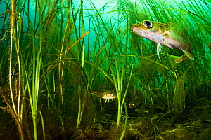 Atlantic cod (Gadus morhua) juveniles hiding in Eelgrass (Zostera marina) bed. Once the most caught fish in the world, the cod fishery collapsed in 1992. Juveniles use seagrass beds as a nursery, the...  -  Shane Gross