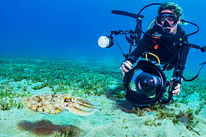 Diver photographing Hooded cuttlefish (Sepia prashadi) in seagrass bed. Marsa Alam, Egypt. 2019.  -  Shane Gross