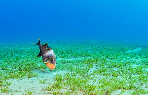 Yellowmargin triggerfish (Pseudobalistes flavimarginatus) feeding in Tapegrass (Halophila stipulacea) seagrass bed. Marsa Alam, Egypt.  -  Shane Gross