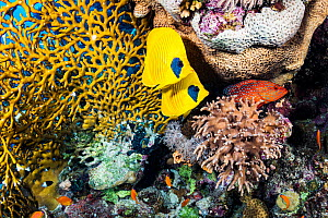 Masked butterflyfish (Chaetodon semilarvatus) pair and Coral hind (Cephalopholis miniata) in coral reef. Marsa Alam, Egypt.  -  Shane Gross