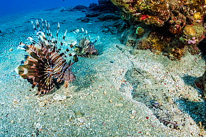 Red lionfish (Pterois volitans), two on sea floor beside Crocodile fish (Cymbacephalus beauforti), an ambush predator camouflaged and hidden. Marsa Alam, Egypt.  -  Shane Gross