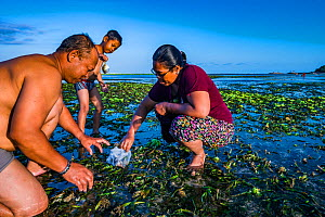 Family harvesting Tape seagrass (Enhalus acoroides) fruit to eat and sell, at low tide. Sanur, Bali, Indonesia. 2018.  -  Shane Gross