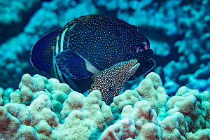 Hunting coalition of a Peacock grouper (Cephalopholis argus) and a whitemouth moray eel (Gymnothorax meleagris) Honokohau, North Kona, Big Island, Hawaii. The grouper is waiting for the eel to go hunt...  -  Doug Perrine