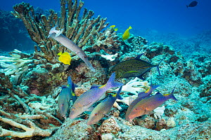 Hunting coalition of Blue goatfish / Gold-saddle goatfish (Parupeneus cyclostomus) with Bluefin jacks (Caranx melampygus) and a Pacific trumpetfish (Aulostomus chinensis) foraging in reef crevices bel...  -  Doug Perrine